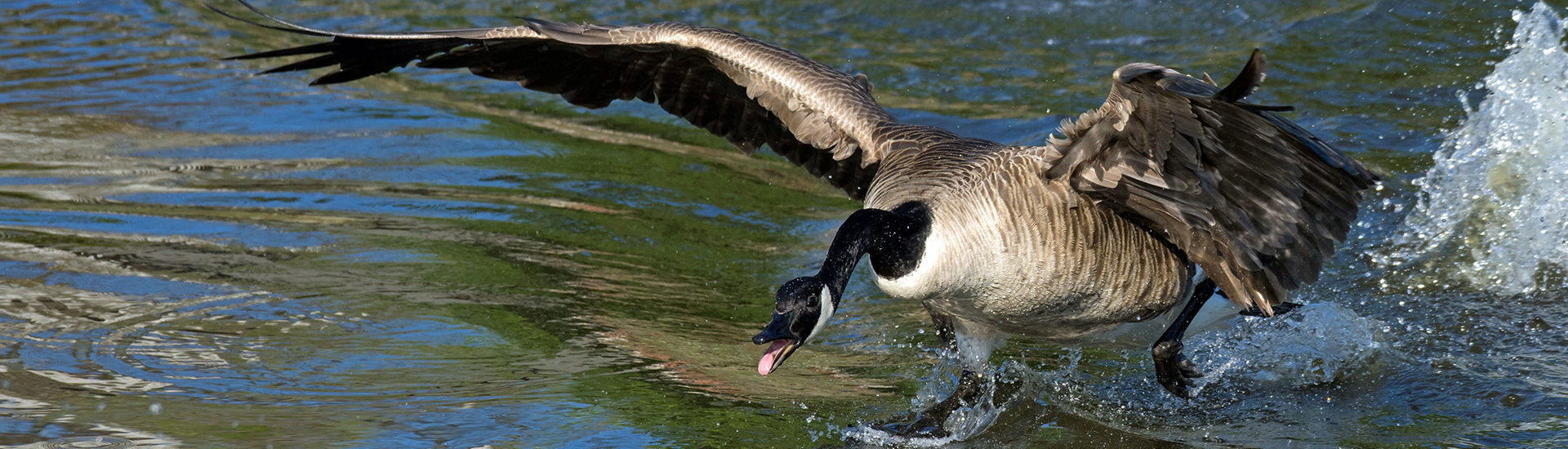 What to Do If You Encounter a Goose