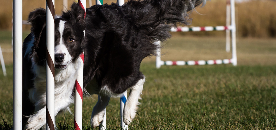 Border Collies are athletic